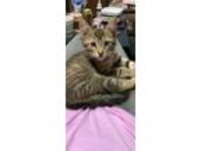 Adopt Vander a Domestic Short Hair, Bengal