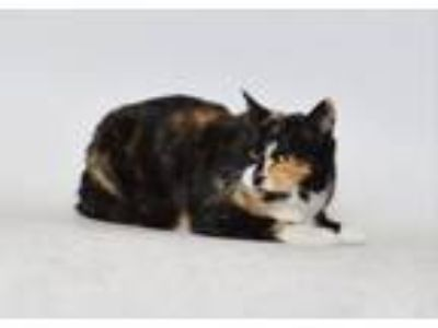 Adopt Monarch a Domestic Short Hair