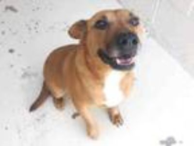 Adopt RUSTY a Labrador Retriever, Mixed Breed