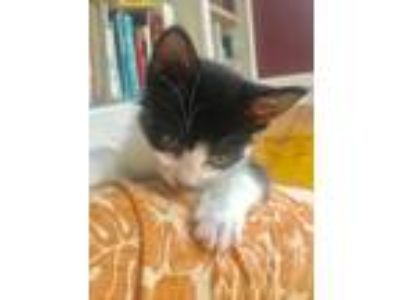 Adopt Tiny Baby a American Shorthair