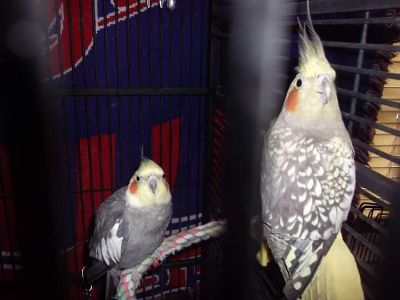 Male and Female Cockatiels with Large Flight Cage on Wheels