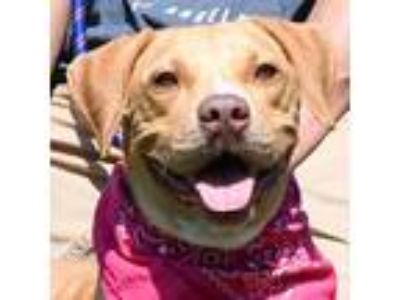 Adopt Shena a Red/Golden/Orange/Chestnut Boxer / Labrador Retriever / Mixed dog