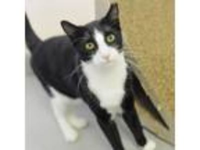 Adopt Jon Snow a All Black Domestic Shorthair / Domestic Shorthair / Mixed cat