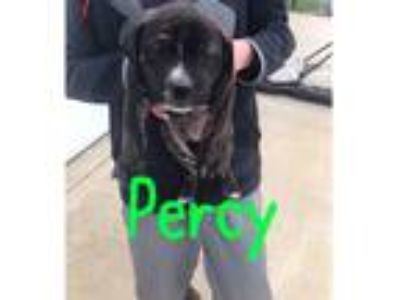Adopt Percy a Brown/Chocolate - with Black Mixed Breed (Medium) dog in Palatine