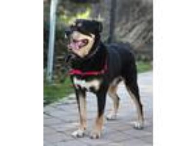 Adopt Hot Rod *ADOPTION FEE WAIVED* a Tricolor (Tan/Brown & Black & White)