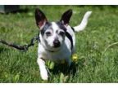 Adopt Lucille a Black Rat Terrier / Mixed dog in West Chester, PA (25363559)