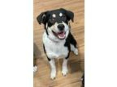 Adopt Paula a Black - with White Shepherd (Unknown Type) / Mixed dog in
