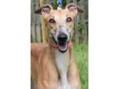 Adopt Robin a Greyhound