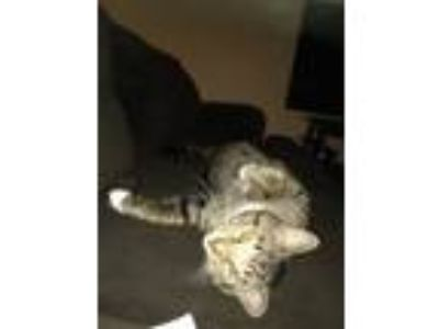 Adopt Nicholai a Tiger Striped Domestic Shorthair / Mixed cat in Elkhart