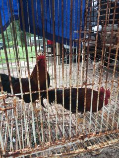 2 free roosters