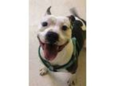 Adopt Toby a Gray/Blue/Silver/Salt & Pepper American Pit Bull Terrier / Mixed