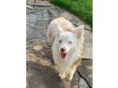 Adopt Scout a White - with Tan, Yellow or Fawn Australian Shepherd / Mixed dog