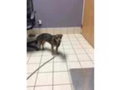 Adopt Ferris Bueller a Brown/Chocolate Mixed Breed (Small) / Mixed dog in