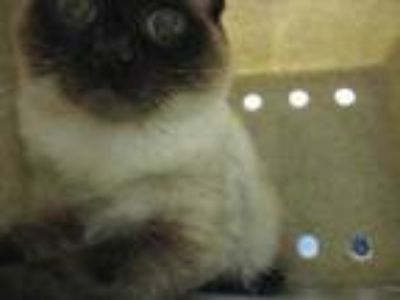 Adopt Hewie a Tan or Fawn Siamese / Domestic Shorthair / Mixed cat in Wantagh