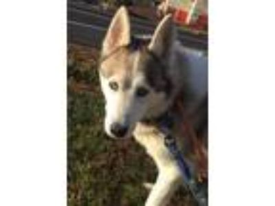 Adopt Winter a Siberian Husky / Mixed dog in Matawan, NJ (17734674)