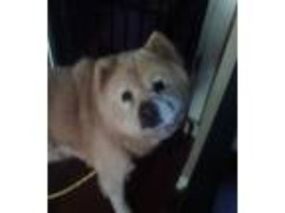 Adopt Rusty a White Chow Chow / Mixed dog in Weatherford, TX (19636790)