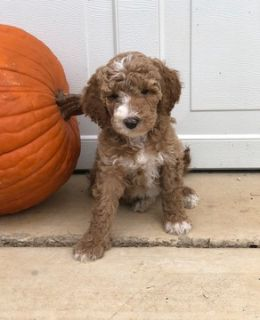 Goldendoodle-Poodle (Standard) Mix PUPPY FOR SALE ADN-100521 - Bentley