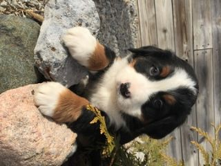Bernese Mountain Dog PUPPY FOR SALE ADN-70130 - Bernese Mountain Dog Puppies