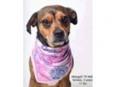 Adopt Abbygail a Tricolor (Tan/Brown & Black & White) Pug / Beagle / Mixed dog