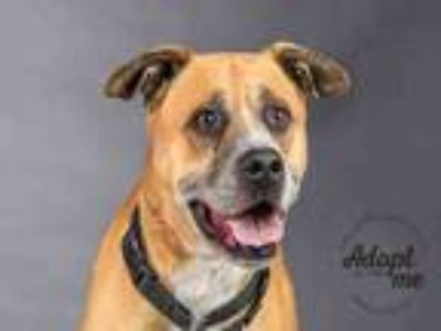 Adopt ROCKO a Boxer, Mixed Breed