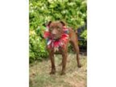 Adopt EMMA a Brown/Chocolate - with White American Pit Bull Terrier / Labrador