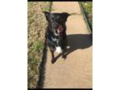 Adopt ZCL Barklee a Black - with White Collie / Retriever (Unknown Type) / Mixed