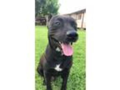 Adopt Panther a Black - with White American Staffordshire Terrier / Akita /