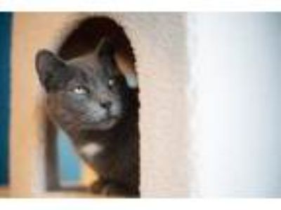 Adopt Biscuit a Gray or Blue (Mostly) Domestic Shorthair (short coat) cat in