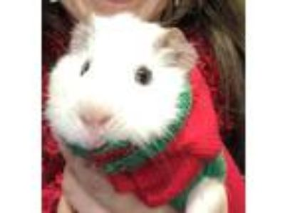 Adopt Squiggy a White Guinea Pig small animal in Milton, GA (25298159)