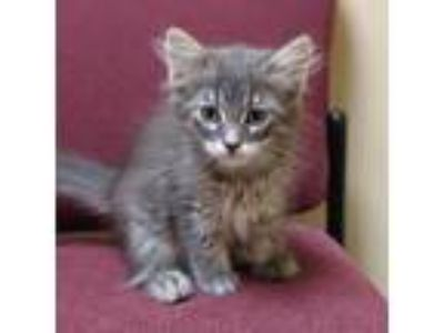 Adopt Clark a Gray or Blue Domestic Mediumhair / Domestic Shorthair / Mixed cat