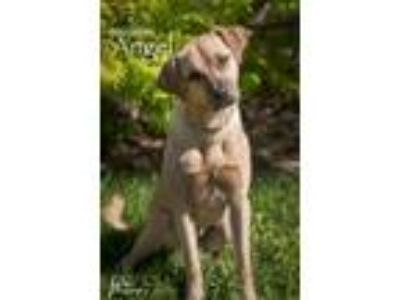 Adopt Angel a Tan/Yellow/Fawn Labrador Retriever / Mixed dog in Merriam