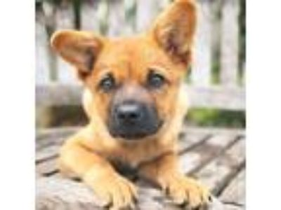 Adopt Senna a Brown/Chocolate Belgian Malinois / Chow Chow dog in