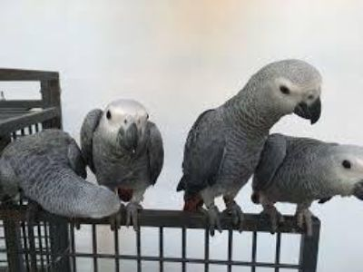 Friendly live Friendly only African grey parrots for Amazing live houseee