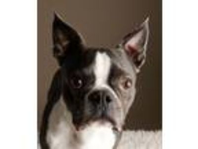 Adopt Marco # 1656 a Boston Terrier