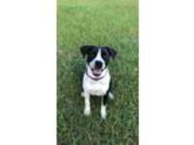 Adopt Juniper Bug a Black - with White American Pit Bull Terrier /