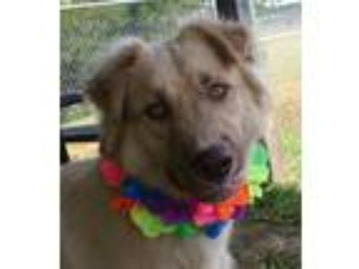 Adopt Gates (See Memo) a Tan/Yellow/Fawn Shepherd (Unknown Type) / Border Collie