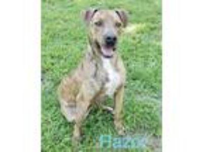 Adopt Razor a Brindle Catahoula Leopard Dog / Mixed dog in Mandeville