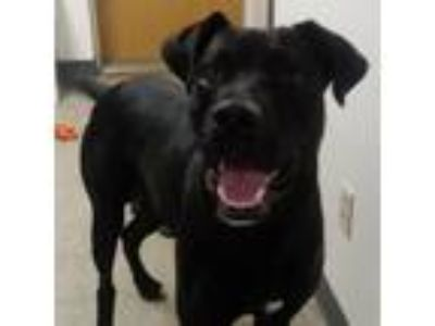 Adopt Bruiser a Black Mastiff / Mixed Breed (Large) dog in South Haven