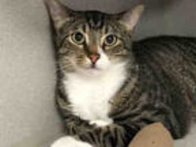 Adopt SPIKE a Brown Tabby Domestic Shorthair / Mixed (short coat) cat in Dallas