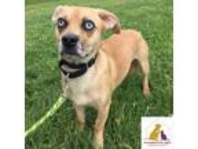 Adopt Scrappy a Tan/Yellow/Fawn - with Black Beagle / Pug / Mixed dog in Eighty