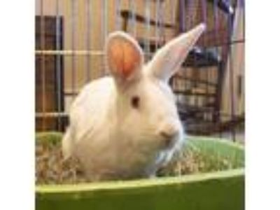 Adopt Laurie a New Zealand / Mixed (medium coat) rabbit in Holbrook