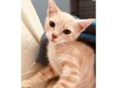 Adopt Butterkins a Domestic Short Hair
