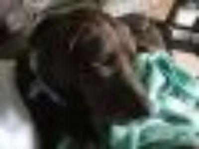 Angus Black Labrador Retriever Dog