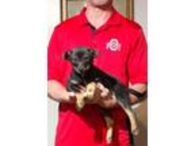 Adopt Cinnamin a Black - with Tan, Yellow or Fawn Jack Russell Terrier / Border
