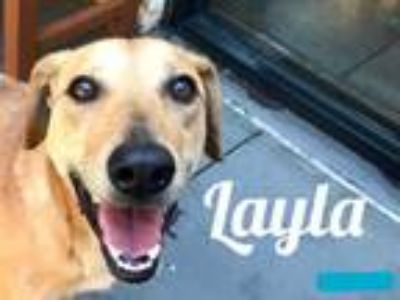 Adopt Layla a Tan/Yellow/Fawn Hound (Unknown Type) / Mixed dog in Lewisville