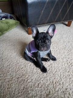 French Bulldog PUPPY FOR SALE ADN-104033 - French Bulldog female
