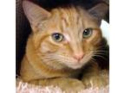 Adopt Linus a Orange or Red Domestic Shorthair / Domestic Shorthair / Mixed