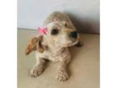 Adopt Candy a Cocker Spaniel