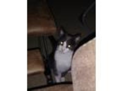 Adopt Grayson a Gray or Blue (Mostly) Domestic Shorthair / Mixed cat in San