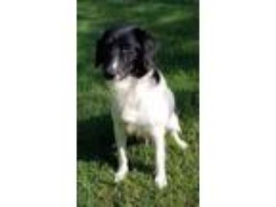 Adopt Daisy Lou a Mixed Breed, Border Collie